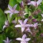 Campanula portenschlagiana - pink. (Campanula portenschlagiana)