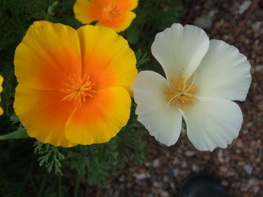 Escholzia. (Eschscholzia californica (California poppy))