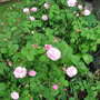 Pink rose bush in maple tree garden (Rosa centifolia 'Fantin-LaTour')