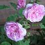 Pink roses  (Rosa centifolia 'Fantin-LaTour')