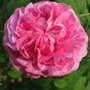 'Fantin LaTour' rose (Rosa centifolia 'Fantin-LaTour')