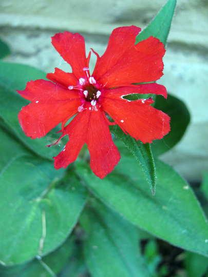 Red campion flower (Lychnis 'Molten Lava')