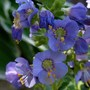 Jacob's Ladder 'Heavenly Habit' (Polemonium boreale 'Heavenly Habit')
