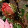 Mossed bud of miniature moss rose 'Mood Music' (Rosa 'Mood Music')