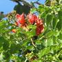 African_tulip_tree