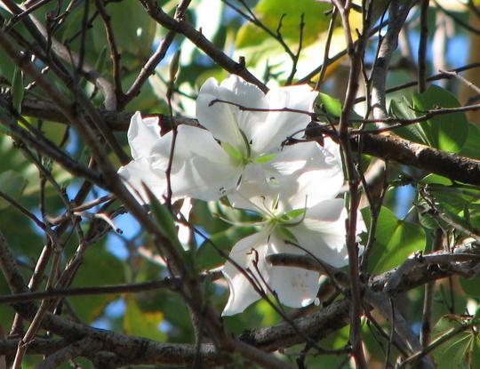 Winter in northern Oz:  Bauhinia variegata starts to flower (Bauhinia Variegata - Alba)