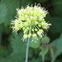 Allium_nigrum_2009