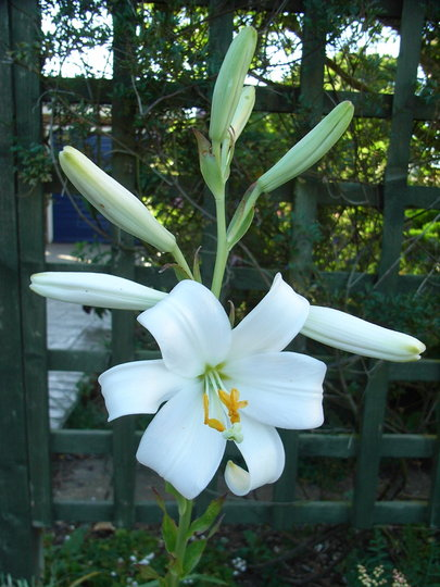 Lilium candidum - 2009 (Lilium candidum)