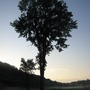 A Stately Elm