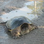 terapin (Snapping) turtle