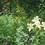 Lilium Aubade and Garden (Lilium)