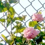 """very old rose - and the """"anti-football wire"""" froom the school next door"""