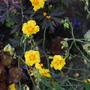 Helianthemum nummularium (Common Rockrose)