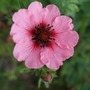 Potentilla 'Miss Willmott' (Potentilla nepalensis (Cinquefoil Miss Willmott))