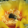 Hardy Prickly Pear Cactus with Bumble (Opuntia compressa (Eastern Prickly Pear))
