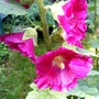 Alcea rosea (Black Hollyhock)