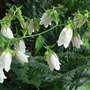 Campanula_white_from_carrie_7_12_06_med