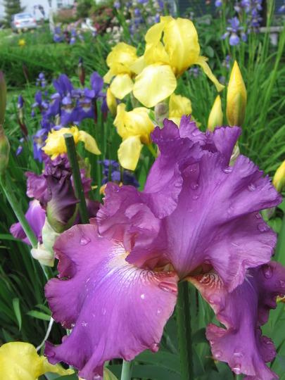my neighbour's irises