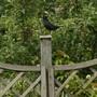 Blackbird and apples