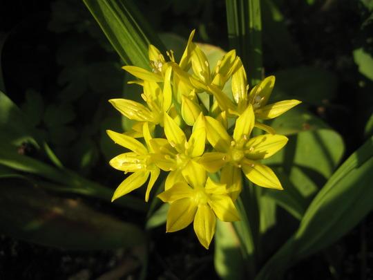 Golden Garlic (Allium Moly) (Allium moly (Golden Garlic))