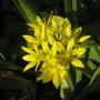 Golden Garlic (Allium Moly) (Allium moly (Golden Garlic))