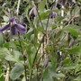 Clematis Chinook (Clematis Chinook)