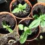 For Madmum Teasel seedlings