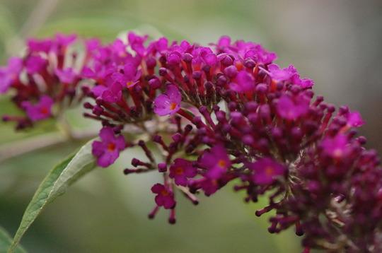 Buddleia 'Black Knight' (Buddleja davidii (Butterfly bush))