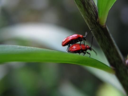 Blog 9. Lily Beetle