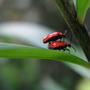 Blog 9. Lily Beetle