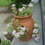 Sedum flowering