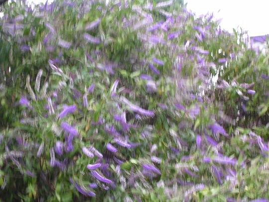 A garden flower photo (Hebe)