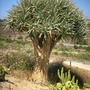 Dracaena draco - Dragon Tree