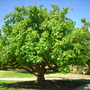 Erythrina coralliodes - Naked Coral Tree (Erythrina coralliodes - Naked Coral Tree)