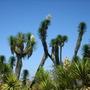 Yucca brevifolia - Joshua Trees (Yucca brevifolia - Joshua Trees)