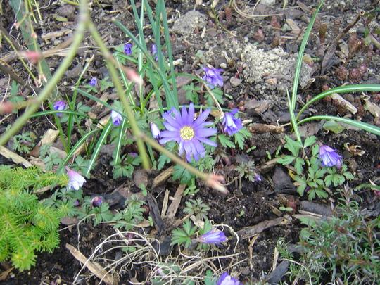 Anemone Blanda (Wind flower) (Anemone blanda (Anemone))