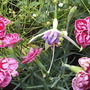 Fuchsia.dianthus.androsace