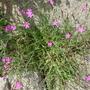 Dianthus (Dianthus alpinus (Alpine Pink) ?)