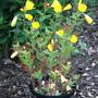 Yello Primroses in Pot