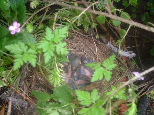 Blackbird chicks