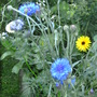 Cornflower and Calendula