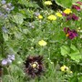 Hardy Anuuals/ Wildflower border