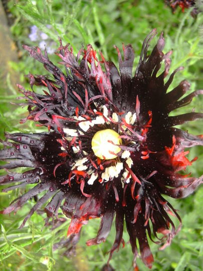Poppy Blackcurrant Fizz (Papaver somniferum (Opium poppy))