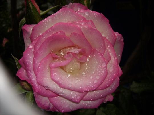 Rosa Handel