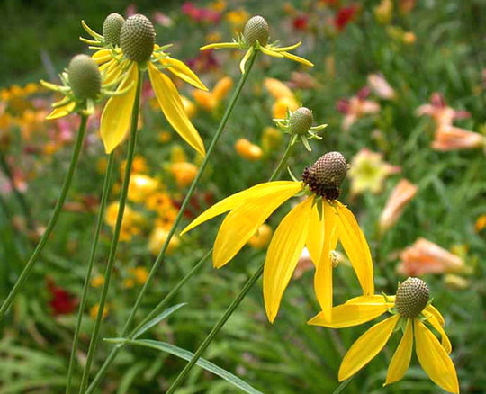 Prairie Coneflower, Gray-headed Coneflower (Ratibida pinnata (Gray Headed Coneflower))