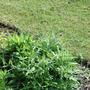 Knautia (plant) (Knautia macedonica (Knautia))