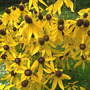 Prairie Coneflower  (Ratibida pinnata (Gray Headed Coneflower))