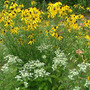 Prairie Coneflower Full View with Mountain Mint (Ratibida pinnata (Gray Headed Coneflower))