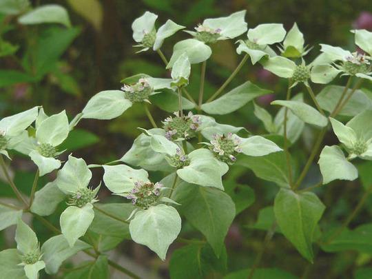 Mountain Mint (Pycnanthemum clinopodiodes)