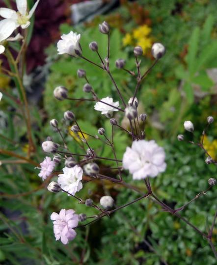A garden flower photo (Gypsophila repens)